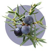 Plody jalovca majú silný protizápalový účinok.