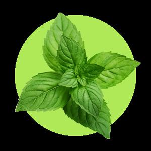 Mätový extrakt má silný antiseptický a osviežujúci účinok.